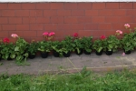 Mój przyjaciel kwiatek - miniatura z galerii zdjęć (otwórz zdjęcie w powiększonej wersji)
